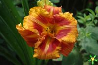 Лилейник 'Тайгер' / Hemerocallis 'Tiger'