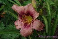 Лилейник 'Лонгфилдс Пепл Ай' / Hemerocallis 'Longfields Purple Eye'
