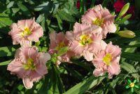 Лилейник 'Романтик Роуз' / Hemerocallis 'Romantik Rose'