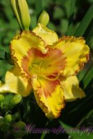 Лилейник 'Ирристейбл Шарм' / Hemerocallis 'Irristable Charm'