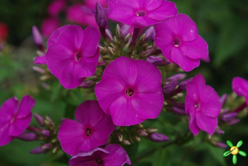 Цветок флокс и описание