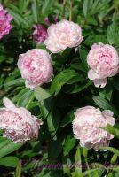 Пион травянистый 'Сара Бернард' / Paeonia 'Sarah Bernhardt'