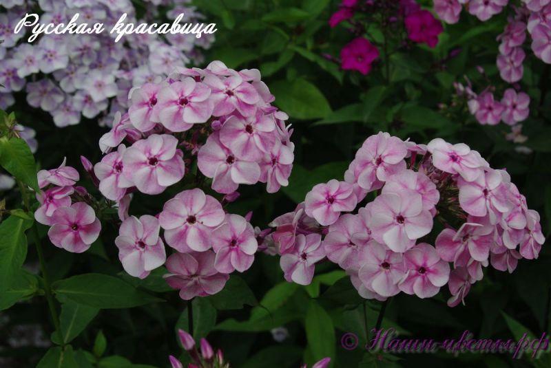 Флокс 'Русская Красавица' / Phlox 'Russkaya Krasavica'