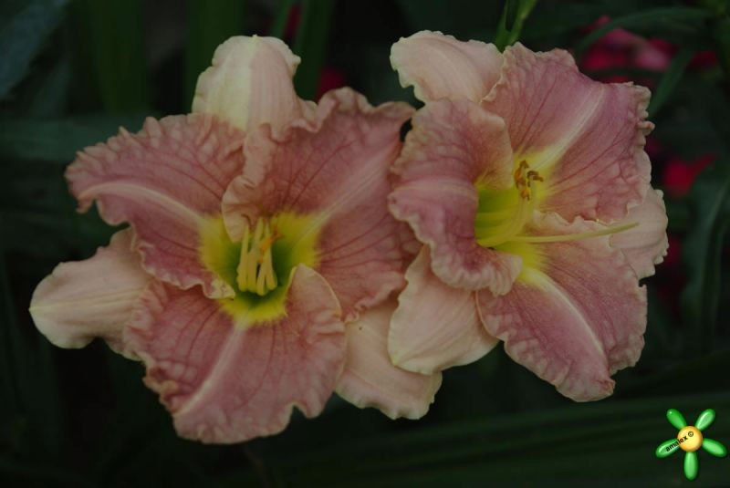 Лилейник 'Романтик Роуз' / Hemerocallis 'Romantik Rose'